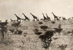 A herd of aligned giraffes walk across savanna grass in Africa, May 1910.Photograph by A. Dugmore, National Geographic