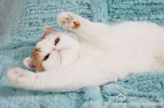Snoopy Cat, Exotic Shorthair, Zoology, Cats And Kittens, Beautiful People, Cute Animals, Kitty, Funny, Cat Breeds