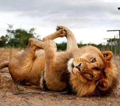 Asana of the Week: Happy Baby In lion form.