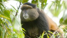 Golden Monkey at Volcanoes National Park, Rwanda - Photo by Governors Safaris