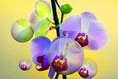 Orchid in the making. Click image to view art and purchase.  http://www.yourphotofantasy.com  http://angelika-drake.artistwebsites.com