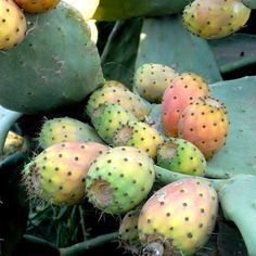 Figuiers de Barbarie Opuntia ficus-indica