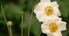 Anemone hybrida 'Honorine Jobert' (Herfstanemoon) - p9 - De Tuinen van Appeltern
