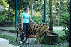 The Truth about Tiger Kingdom: A volunteering experience.
