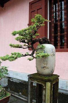 Bonsai Bonsai Acer, Bonsai Plants, Bonsai Garden, Garden Plants, Cactus Plants, House Plants, Mini Bonsai, Indoor Bonsai, Indoor Plants