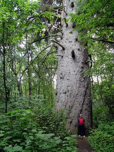 Huge Tree at Kitimat, British Columbia, Canada;  photo by lawrenc_enash, via Flickr