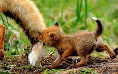 baby fox getting Mom's tail