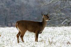 Beautiful deer in the fresh fallen snow in Cades Cove