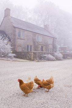 Farmhouse & Chickens... One day