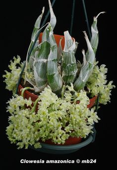 Clowesia amazonica par Michel B.