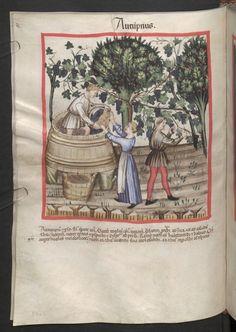 Cod. Ser. n. 2644, fol. 54v: Tacuinum sanitatis: Autumpnus