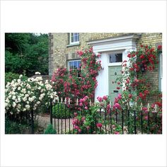 Shrub and climbing roses growing around front door and through railings of house