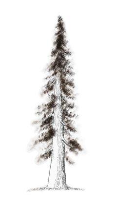 Pino - Tinta china - Naturaleza - 2013 - Pine - Nature - Ink