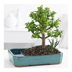 Order tranquil jade bonsai trees and other bonsai from ProFlowers. Features a tranquil jade bonsai tree accented with a horsetail plant. Indoor Bonsai, Bonsai Plants, Bonsai Garden, Indoor Plants, Bonsai Pruning, Bonsai Trees For Sale, Bonsai Tree Care, Exotic Plants, Tropical Plants