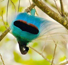 Blue bird-of-paradise, Paradisaea rudolphi