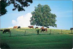 Rolling hills nurture pasture-rasied beef and lamb for #Biltmore's restaurants.