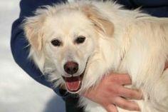 CHERUB is an adoptable Golden Retriever Dog in Saskatoon, SK. Cherub is a one year old, white retriever mix. He  arrived at the shelter on March 18, 2013. Saskatoon SPCA