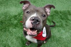 ROYALTY - A1112675 - - Manhattan TO BE DESTROYED 05/30/17 **ON PUBLIC LIST** A volunteer writes: So, so gorgeous and friendly, our Royalty isn't stuck up at all, nor can he do the royal wave, or ride in a carriage (well, maybe a car), nor is he attended by servants. What he is, is friendly, apparently super housetrained (he peed for so long I was afraid he'd topple over), playful, snuggly and so very handsome. Surrendered to our care as his person is ill and ca