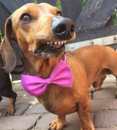Happy birthday to one of my favorites!!  Ukkie has brought sheer bliss for over 7 years now  IG @ingevink #sausagedoglove