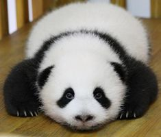 Baby Panda at Chengdu Research Base in China