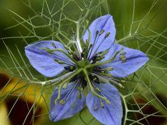 Nigella sativa - Fennel Flower, Roman Coriander | World of ...