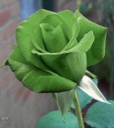 10-Semillas-de-Rosas-VERDES-10-Seeds-GREEN-roses-semi-Siemenet-Samen-Graine