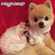 Good morning ,dear friends❤️ お気に入りの場所からおはようござりまする❤️ #goodmorning #dearfriends #loveu #iamfine #lovemydog #dog#pomeranian #pose#newdress #cutie#likes#포메라니안#안녕하세요 #미소#행복#사랑 #감사합니다💕#愛犬#ポメラニアン#かけがえのない存在 #あなたがいてくれるだけで #今日のしょこたん #今日も元気でありがとう #おはよう#今日のワンピースはお気に入り#素敵な1日を