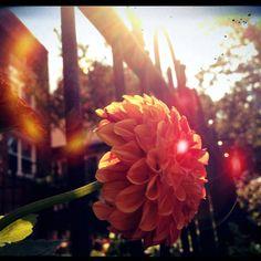 Sidewalk blooms in late day sun, LeDroit Park, DC.