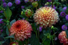 dahlia x hortensis - TARHADAALIA