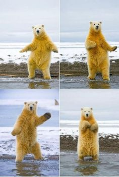 The polar bear can dance
