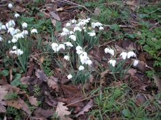Cluster of snowdrops.