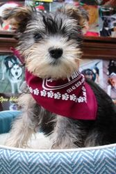 Pipsqueak is an adoptable Schnauzer Dog in Dallas, TX. Pipsqueak (or Pip as we call her)is an ADORABLE little girl who loves to play with other dogs and toys. She is so cute and photogenic, she look...