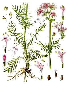 Image from http://upload.wikimedia.org/wikipedia/commons/1/17/Valeriana_officinalis_-_K%C3%B6hler%E2%80%93s_Medizinal-Pflanzen-143.jpg.