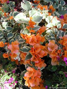My Fav shade of Bougainvillea since I saw it in the Fernando Valley of LA, then in Israel, Sorrento & Capri. Exotic Plants, Exotic Flowers, Orange Flowers, Tropical Flowers, Beautiful Flowers, Landscaping Plants, Garden Plants, Bougainvillea Care, Orange Plant
