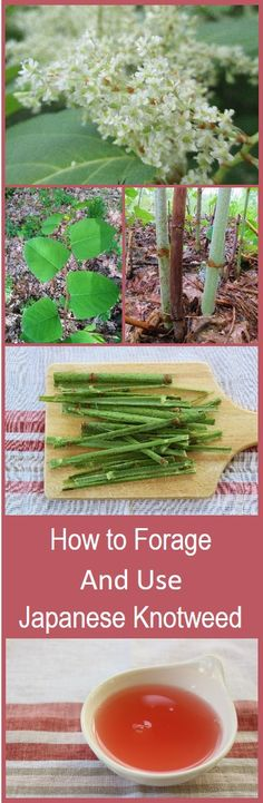 Japanese knotweed is a non-native invasive plant in the US, which is not only edible, but delicious. Forage for this plant to make room for native plants, use it for juice, or in baked goods as a substitute for rhubarb. This post explains how to find it, identify it, and juice it. I use the juice for popsicles in a subsequent post.