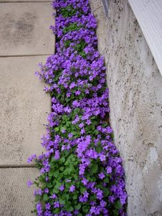 Campanula portenschlagiana 'Hoffman's Blue' (dalmatian bellflower) makes a great groundcover, with a thick carpet of gorgeous purple flowers.