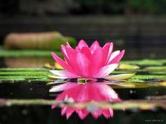 26 best waterlelies images on pinterest lotus flower good waterlelie zuiverheid van hart live laugh love flower power mightylinksfo
