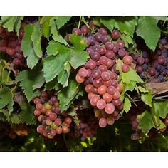 Table Grape Vine - Ruby (Seedless)