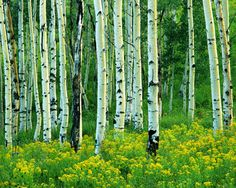 Aspen And Goldenrod Mural - Charles Gurche| Murals Your Way