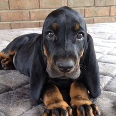 black and Tan Coonhounds.