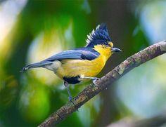 https://flic.kr/p/2fZXut | #68 黃山帥冠 (Pround crown) | 黃山雀.攝於台灣 台中縣 大雪山  Formosan Yellow Tit, taken at DaSyueShan, Taichung County, TAIWAN
