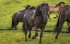 Because Icelandic horses. | 25 Reasons Why You Should Peace Out And Go Photograph Icelandhttp://www.wallacetravelgroup.ie/holidays/iceland-holidays.189.html