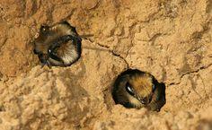 Grote zijdebij: graaft nestjes in de duinen van de heideterreinen en de stijlwanden in de Maasvallei.