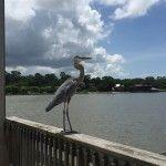 Pier Heron Fairhope Alabama, Summer 2015, Couple, Heron, Pets, Travel, Animals, Viajes, Animales