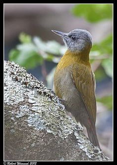 Olive Woodpecker (female) - Dendropicos g. griseocephalus by Robert Wienand -