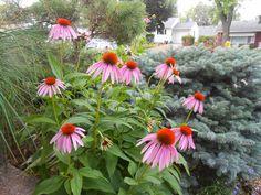 Sproutsandstuff: July Bloomers-Echinacea purpurea  http://sproutsandstuff.blogspot.co.uk/p/blog-page_28.html