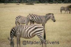 Adventures in Africa - Zebra citing