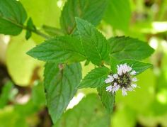 Peppermint: Mint's aroma repels mosquitos that would otherwise enjoy buzzing around your home, and the plant also offers plenty of perks in the kitchen. Fresh mint tea, anyone? Peppermint Oil Benefits, Peppermint Oil Uses, Peppermint Plants, Peppermint Tea, Healing Herbs, Medicinal Herbs, Holistic Healing, Natural Healing, Fresh Mint Tea