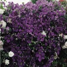 jackmanii superba clematis - Google Search
