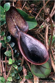 Nepenthes lowii.